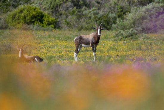 Bontebok standing in the flowers of the West Coast of South Africa