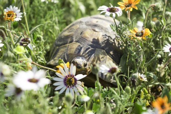 Angulate tortoise walking through the flowers of the West Coast of South Africa