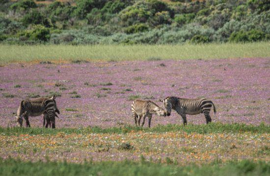 Zebra among purple West Coast flowers in Cape Town