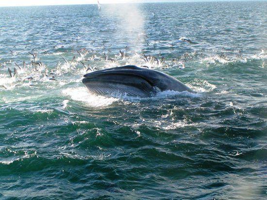 Une baleine de Bryde en Afrique du Sud