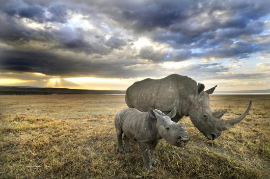 Rhino and her baby walking under the dark clouds at Lake Nakuru National Park, Kenya