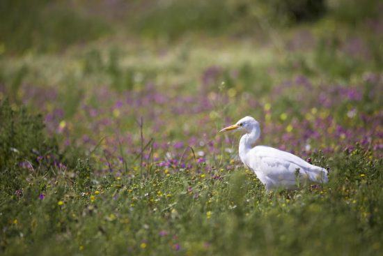 Egret in the flowers of the West Coast of South Africa