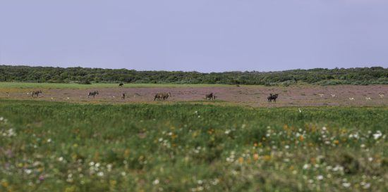 Wildebeest and zebra in the flowers of the West Coast of South Africa
