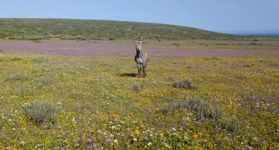 Mountain zebra in the flowers of the West Coast of South Africa
