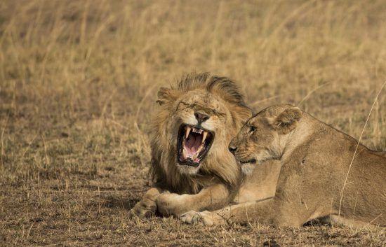 Leão boceja enquanto deita perto de leoa