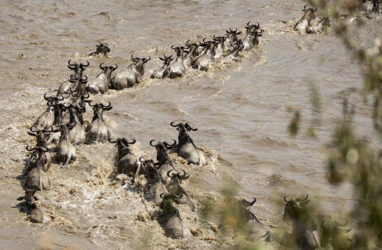 Gnus corajosos atravessam rio Mara