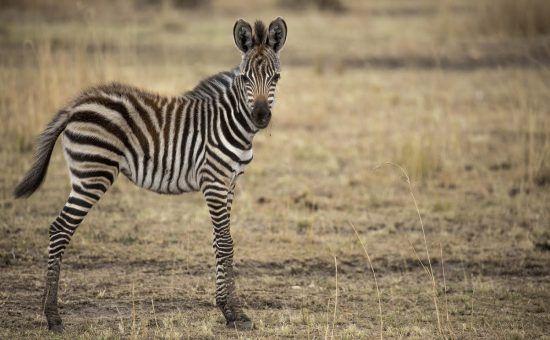 Zebra observa câmera