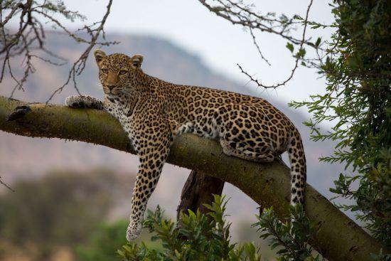 Leopardo descansa em árvore