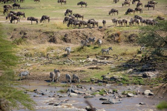 Zebra and wildebeest waiting by the Mara River to cross