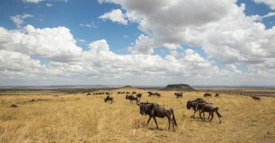 Great Wildebeest Migration in the Mara, Kenya