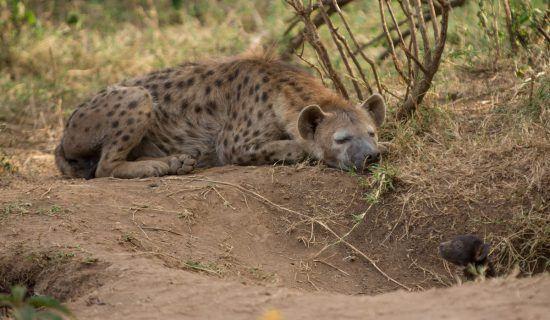 Hiena descansa perto de buraco