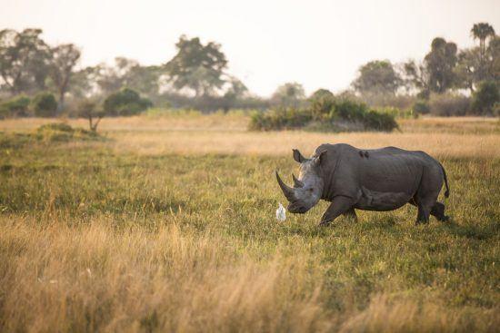 Rhino walking in the grass in Botswana