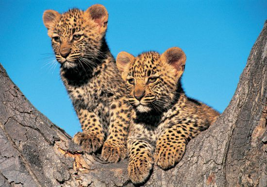 Two Leopard Cubs in a tree