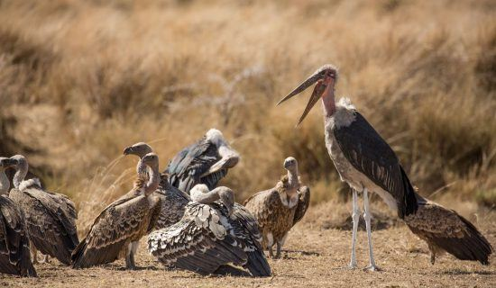 Marabou with other birds