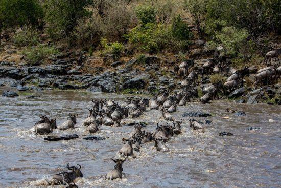 wildebees crossing river