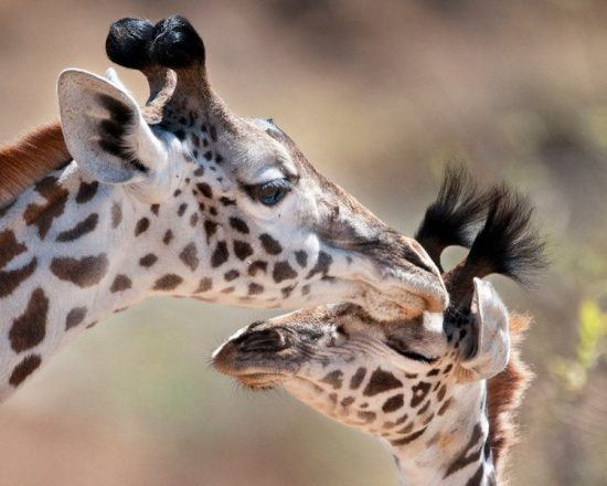 giraffe mother with cub