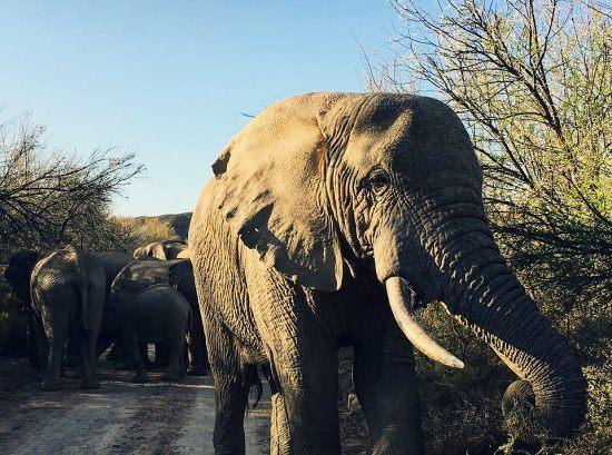 Elefante se isola de seus companheiros em Sanbona Wildlife Reserve