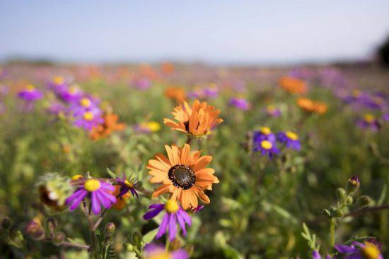 Flores silvestres laranjas e roxas agraciam o Parque Nacional da Costa Oeste da África do Sul