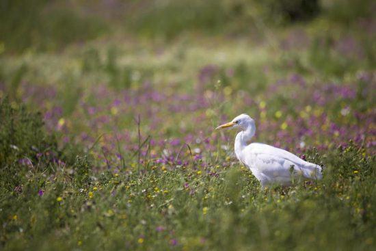 Garça entre as flores da costa oeste da África do Sul