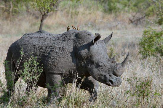 Rhino walking through bush with Oxpecker birds