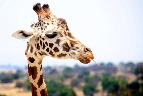 """""""Giraffentheater"""" von Léo Grasset klärt über die Eigenarten der afrikanischen Tierwelt auf."""
