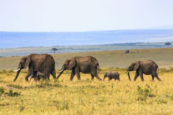 """Elefanten ziehen durch die atemberaubende Masai Mara, die auch Schauplatz des Romans """"Jenseits von Afrika"""" darstellt."""