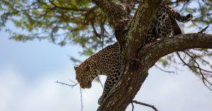 Léopard descendant d'un arbre au cratère du Ngorongoro, Tanzanie