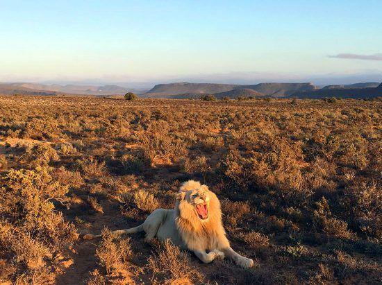 Leão albino rugindo em meio à savana