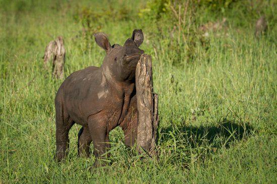 Baby rhino rubbing against a tree stump