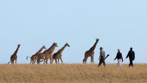 Les girafes font partie de la faune sauvage extraordinaire à voir pendan tun voyage au Kenya.