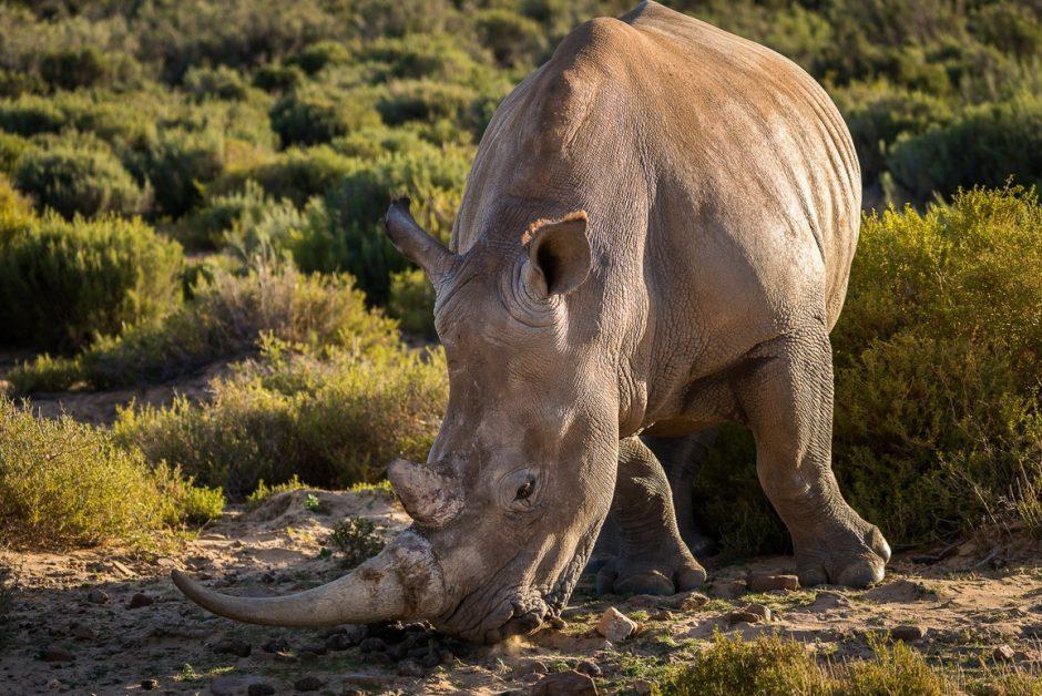 Nashorn mit langem Horn sucht nach grünem Gras