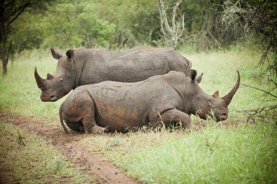 Rhino lying down and rolling at the Rhino River Lodge
