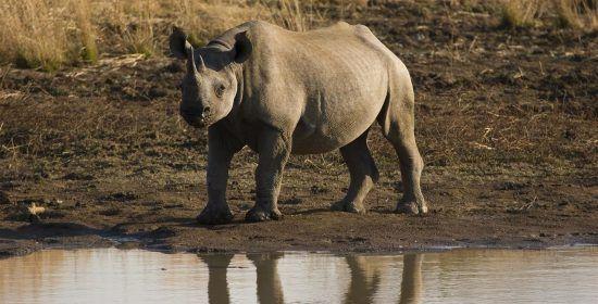 Baby rhino at the river at Black Rhino Reserve Pilanesberg National Park