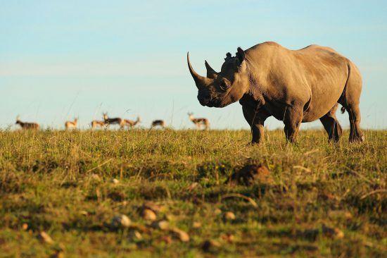 Rhino with antelope during sun rise