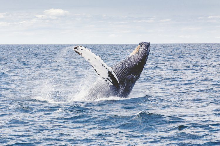 humback whale breaching in the ocean