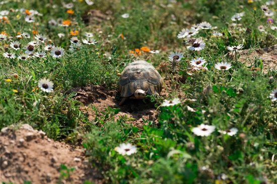Tartaruga passeia pelas flores do Parque Nacional da Costa Oeste, Cabo Ocidental