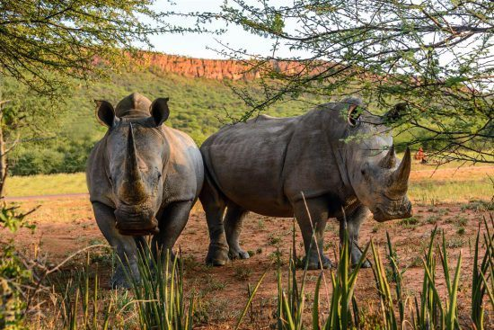 Two rhino under the shade of the trees at the Waterberg Plateau Lodge