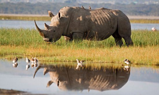 Rhino in the water with Oxpecker birds in the Okavango concession areas in Botswana