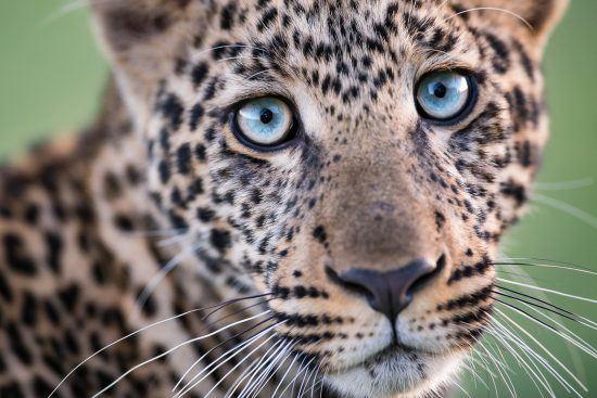 Leopard mit blauen Augen blickt in die Kamera