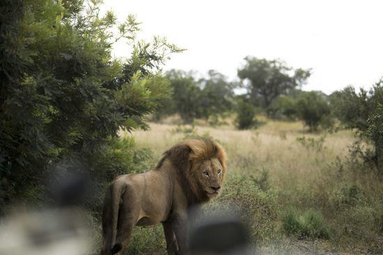 Lion sighting in South Africa's Chitwa Chitwa Lodge Kruger National Park