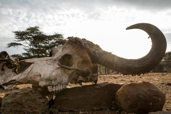 Skulls in the Serengeti during the Great Migration