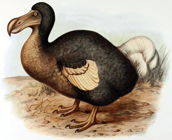 Zeichnung eines Dodos