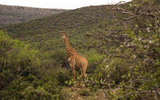 Giraffe at Samara Game Reserve