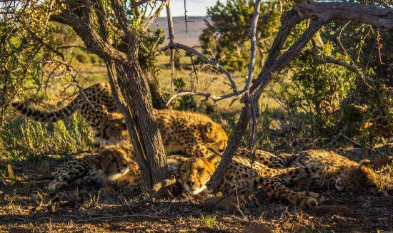 Cheetah and her cubs at Samara Private Game Reserve