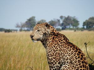 Leopardo no Delta do Okavango.