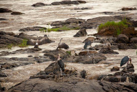 Maribou storks and vultures eating wildebeest on the Mara River in Kenya