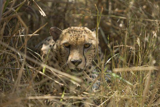 Cheetah in the Serengeti National Park in Tanzania