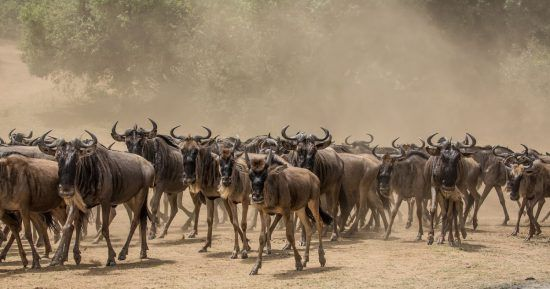 Herd of wildebeest in the Mara Triangle, Kenya, during a Great Migration Safari