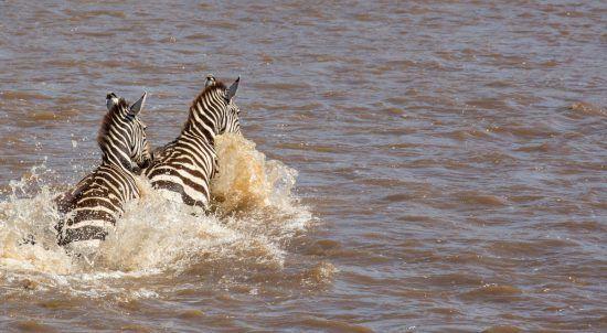 Zebra crossing the Mara River in the Serengeti, Tanzania