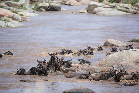 Wildebeest trying to cross the Mara River during the Great Wildebeest Migration